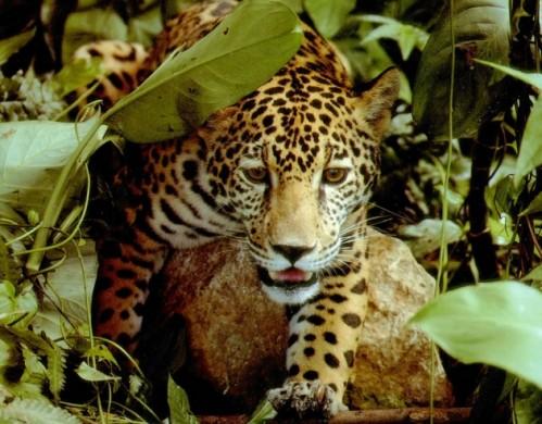 Báo rừng Amazon