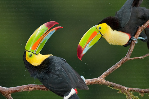 Vẹt Toucan mỏ dài - Bá tước vùng Amazon.