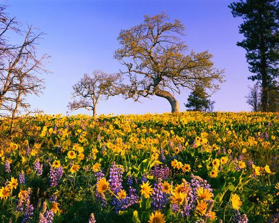 Vẻ đẹp của Đà Lạt khi mùa hoa dã quỳ nở rộ