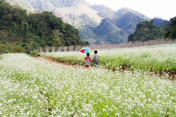 Hoa cải trắng Mộc Châu nở rộ một vùng